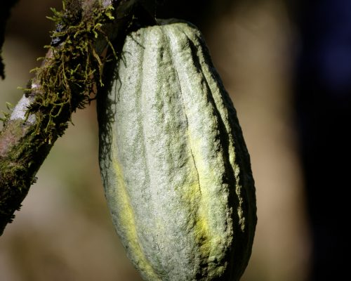 Cacao Evaluation – now online with home tasting kit